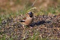 Der Kernbeißer führt eine monogame Brutehe und das Paar bleibt in der Regel ein paar Jahre zusammen. Von April bis Anfang Juli erstreckt sich die Brutzeit mitteleuropäischer Vögel. [EOS5D Mark4 | ISO640 | f5,6 | 1/1000s | 400mm IS USM]