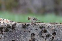 Der Buchfink, auch unter dem Namen Edelfink bekannt, gehört zur Familie der Finken und das Männchen ist herrlich anzuschauen, wenn sein Prachtkleid ausgebildet ist. Das Buchfinken-Männchen hat eine rosa bis rotbraune Gefiederunterseite und wirkt insgesamt farbenfroher. Das Weibchen kommt eher schlicht daher mit einem Federkleid, welches auf der Unterseite beige-grau-grünlich ist. [EOS5D Mark4 + EF100-400L IS II USM | ISO500 | f5,6 | 1/200s | 400mm]