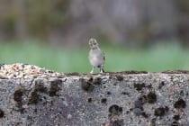 Es gibt 19 Unterarten von Buchfinken und sie besitzen ein großes Verbreitungsgebiet. Somit sind die Sperlingsvögel mit wissenschaftlichen Namen Fringila coelebs einer der häufigsten und populärsten Vogelarten in Mitteleuropa. [EOS5D Mark4 + EF100-400L IS II USM | ISO1600 | f5,6 | 1/640s | 400mm]