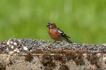 Der Buchfink ist ein Picker. Er nimmt mit schnellen pickenden Bewegungen die Nahrung auf.