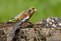 Ein Buchfink und Grünfink zusammen an der Futterstelle.