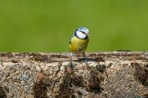 Die Geschlechtsbestimmung zwischen der männlichen und weiblichen Blaumeise ist recht knifflig, da sie sich kaum unterscheiden. Das blaue Käppchen ist beim Männchen intensiver und die Halskrause ist breiter als beim Weibchen.