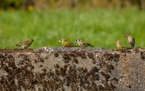 Einige Vogelarten arrangieren sich und sind nicht so dominant. Andere hingegen sind eher auf Krawall ausgelegt und beanspruchen mit Nachdruck den Futterplatz. Es kommt dabei zu kleinen Zankereien.
