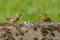 Links ist ein weiblicher Grünfink und rechts ein männlicher Grünfink zu sehen. Das Weibchen auf der linken Bildseite wirkt deutlich matter und besonders das Gefieder an der Bauchunterseite ist eher grau, statt gelbgrün, wie beim Männchen auf der rechten Seite.