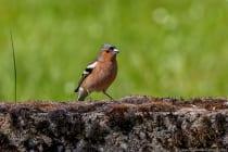 Der Buchfink zählt in Europa zu den häufigsten Singvogelarten, welche in Wäldern, Gärten und Parkanlagen leben.