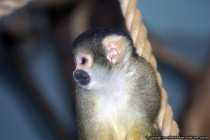 Squirrel Monkey - Looks dangerous but arent so