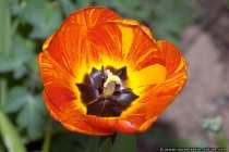 Tulpe in rot-orange - Tulip - Lily Family