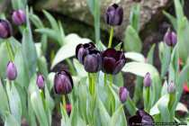 Schwarze Tulpen - Tulips in black