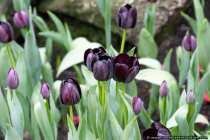 Schwarze Tulpen - Tulips in black
