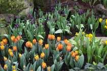 Tulpenbild - Tulip Picture - Different Tulips