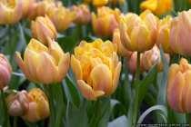 Im Land der Tulpen - Orangeyellow Tulips