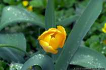 Tulpe nach einem Regenschauer - Yellow Tulip