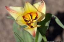 Tulpe - Urtulpen - Tulip