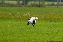 Der Weißstorch, auch bekannt als Klapperstorch, wird etwa 80-100 Zentimeter lang und erlangt ein Maximalgewicht von 2,5 bis 4,5 Kilogramm. Er erreicht ein Lebensalter von über 35 Jahren. Seine Flügelspannweite kann bis zu 2,5 Meter reichen.