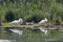 Der Höckerschwan kann eine Körperlänge von 1,60 Meter erreichen und seine Flügelspannweite sind mit fast 2,50 Meter beeindruckend. Im Flug ist ein singendes Fluggeräusch hörbar. Mit einem Gewicht von bis zu 14 Kilogramm ist er in Mitteleuropa der schwerste flugfähigste Wasservogel. Schwäne werden bis zu 20 Jahre alt.