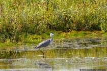 Der Graureiher, auch Fischreiher genannt, erreicht ein beachtliches Gewicht von bis zu 2 Kilogramm, bei einer Körperlänge von 90-100 Zentimeter. Die Flügelspannweite beträgt 1,75 Meter bis kmapp 2 Meter.