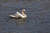 Der Höckerschwan ernährt sich von Wasserpflanzen, Schnecken, Muscheln und Wasserasseln, die er beim Gründeln durch seinen langen Hals erreicht. Wenn die Nahrung im Wasser, meist im Spätwinter, nicht mehr ausreicht, frisst er auch Getreidepflanzen und Gras an Land.