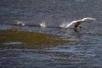 Der Schwan benötigt eine lange Wasserstartbahn. Er schwingt beim Starten mit den Flügeln und läuft dabei sehr lange über das Wasser, bis er sich mit seinen knapp 15 Kilogramm in der Luft halten kann.