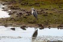 Der Graureiher gehört zur Vogelart aus der Ordnung der Pelecaniformes. Gut ernährte Graureiher können ein Gewicht von 2 Kilogramm überschreiten. Der Graureiher ist am oberen Kopf und an der Stirn weiß. Der Graureiher kommt überwiegend begegnet uns überwiegend mit einem grauen Gefieder, Hals und Rücken, wobei schwarze Färbungen an Hals, überhalb des Auges und an den Schwingen vorhanden sind.