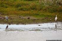 Das Reiherduo und in der Mitte eine unscheinbare Ente.