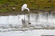 Silberreiher: Hey, Du kleine Ente, was machst Du da? - Kleine Ente: rumschwimmen, statt auf einem Bein rumzuhüpfen :)