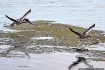 Vier Graugänse wurden im Flug auf der Vogelinsel fotografiert.