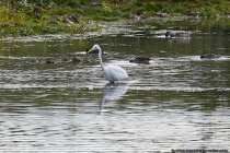 Der Silberreiher steht beinahe bis zum Körper im See. Durch langsames Waten im Seichtwasser findet der Reiher seine Nahrung.