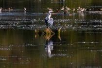 Graureiher auf dem Altmühlsee - Vogelschutzpark, Vogelschutzinsel.