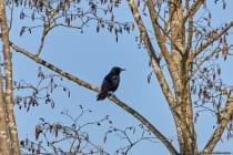 Die Rabenkrähe mit wissenschaftlichen Namen Corvus corona erreicht eine Körpergröße von zirka 45 Zentimetern. [Technische Details: Canon EOS5D Mark4 | ISO400 | f5,6 | 1/2500s | 400mm]