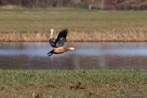 Die Rostgans, eine Exotin mit wissenschaftlichen Namen Tadorna ferruginea, verhält sich während der Brutzeit sehr aggressiv und vertreibt auch einheimische Vögel. [Technische Details: Canon EOS5D Mark4 | ISO400 | f8,0 | 1/640s | 400mm]