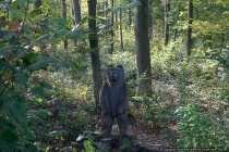 Der Bär im Wald