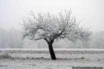 Winterbaum mit weißer Baumkrone.