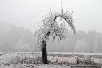 Ein krummer Baum mit einer eisigen Schicht.