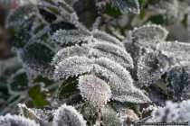 Eisige Blätter schneeweiß überdeckt.