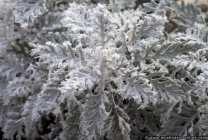 Der Raureif bedeckt bei Minusgraden die Pflanzen mit einem weißen Kleid