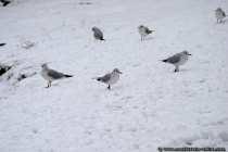Möwen im Schnee