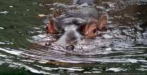 Nilpferd - Flusspferd