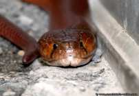 Schlange Speikobra - Kopfportraet