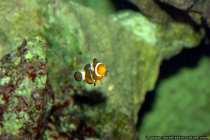 Orangelringelfisch - Clownfisch