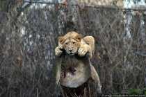 Tiger im Zoo Frankfurt
