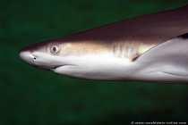 Makrelenhai