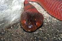 Speikobra - Giftschlange