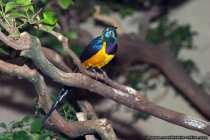 Singvogel (Koenigsglanzstar)