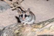 Kleine Wüstenspring Maus