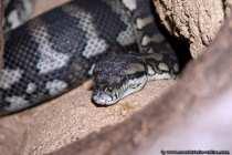 Teppich Python