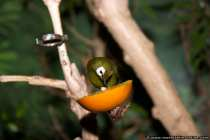 Kikuyu Brillenvogel