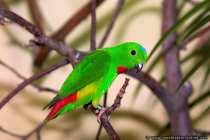 Fledermaus Papagei