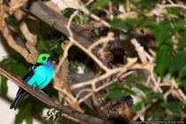 Siebenfarben Tangare Sperlingsvogel