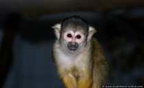 Totenkopf Affe