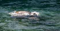 Robbe beim Wellenreiten in der Wilhelma